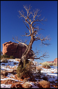 Tree with fresh winter snow, Monument Valley
