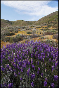 Purple Lupine and Wildflowers in Full Bloom, Lake Hughes, California