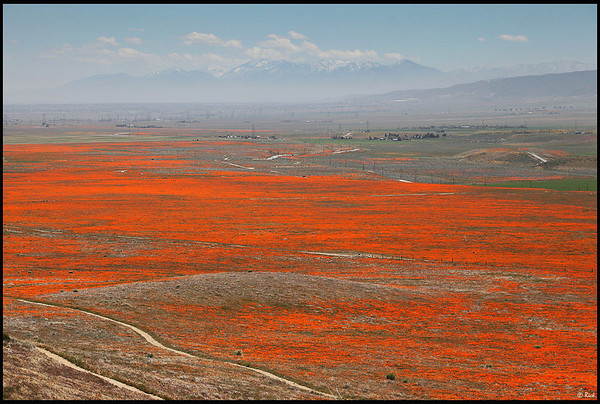 california poppy reserve. California Poppy Reserve,