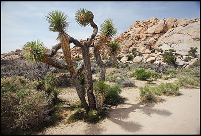 Joshua Trees, Joshua Tree National Park, CA