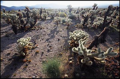 Cholla Cactus Garden, Sunrise  Joshua Tree National Park, CA