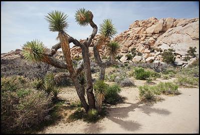 Joshua Trees, Joshua Tree National Park, CA